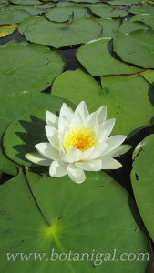 R.K. LBHF Poker Run 2016 White Water lily for web