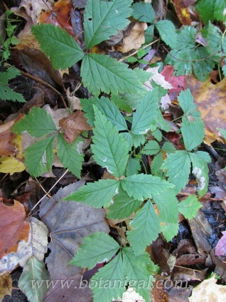 dewberry-thornless