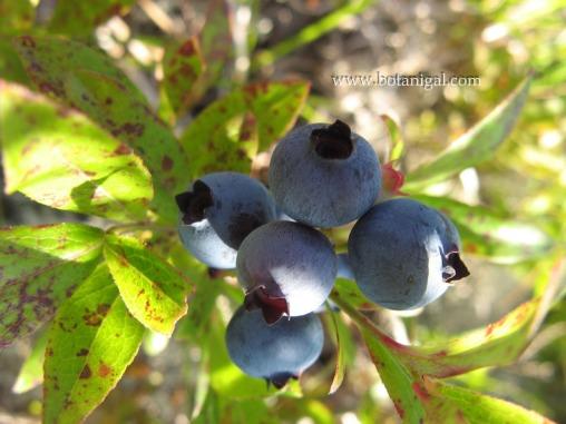 R.K. Blueberry.jpg