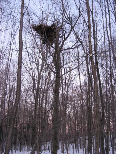 Beech bear nest 2.jpg