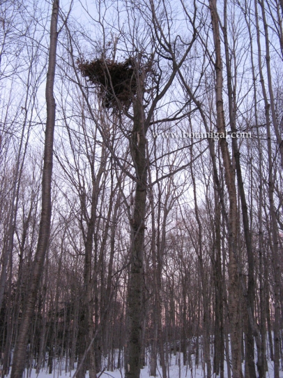 Beech bear nest 2.jpg