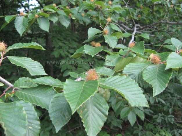 Beech Nuts.jpg