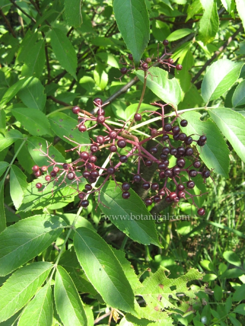 black-elderberry-fruit