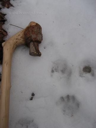 r-k-beaver-or-otter-prints