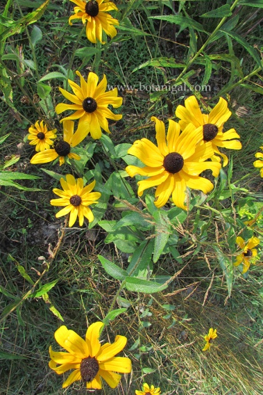 r-k-black-eyed-susan-1