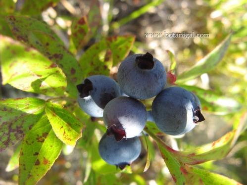 r-k-blueberry