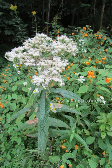 r-k-boneset-with-jewelweed-img_1207