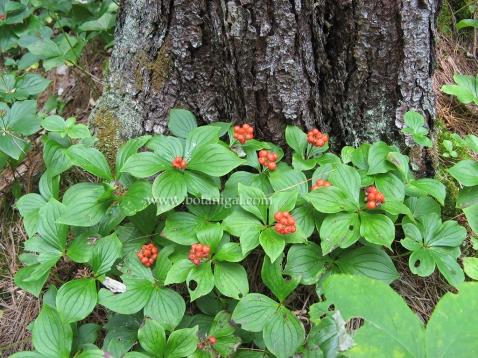 R.K. Bunchberry colony IMG_9732.jpg