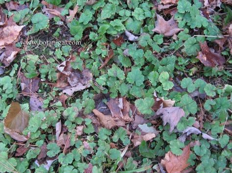 r-k-foamflower-colony-img_6085