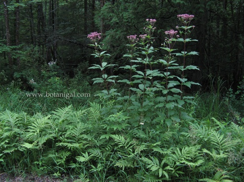 r-k-joe-pye-weed-with-sensitive-fern