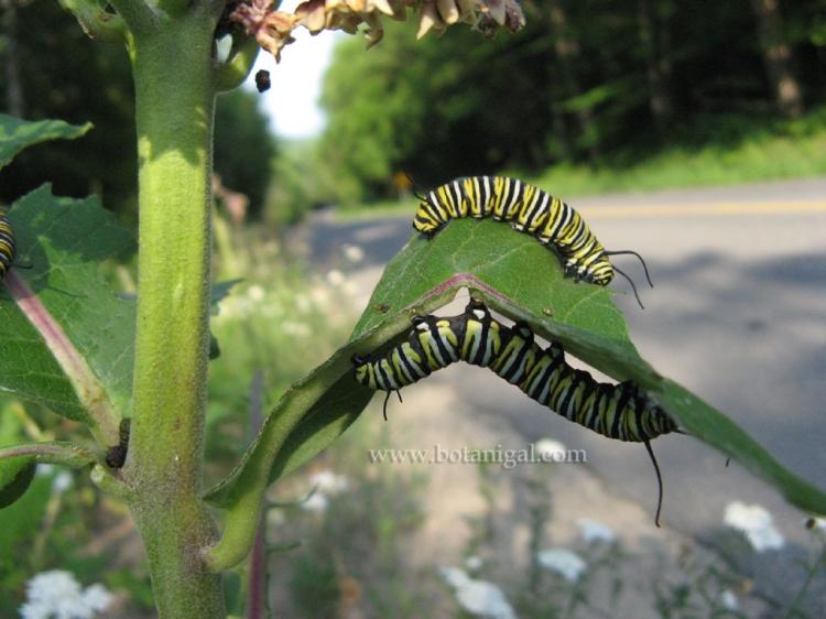 R.K. Milkweed with Monarch larvae 5 IMG_6180.jpg