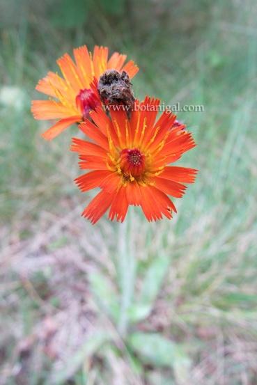 r-k-orange-hawkweed-img_1139