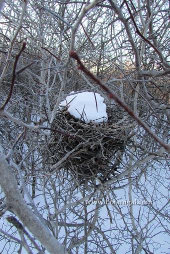 Shrike nest Ottawa 2016 024.jpg