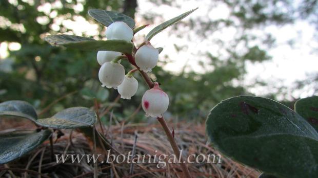 wintergreen-flowers