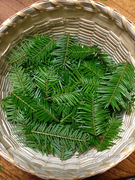 R.K. Balsam Fir Tips July 14 2017 041 iPhone wtm.jpg