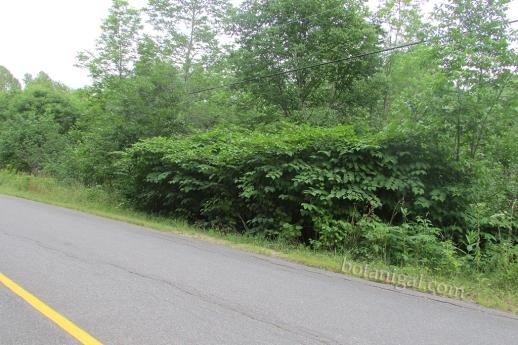 R.K. Japanese Knotweed roadside form IMG_2526 wtm.jpg