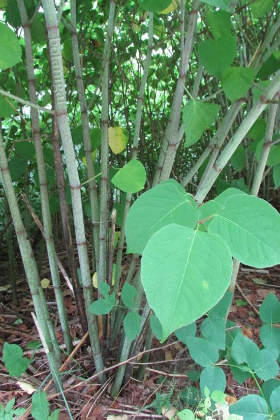 R.K. Japanese knotweed stalks and leaves IMG_2522 wtm.jpg