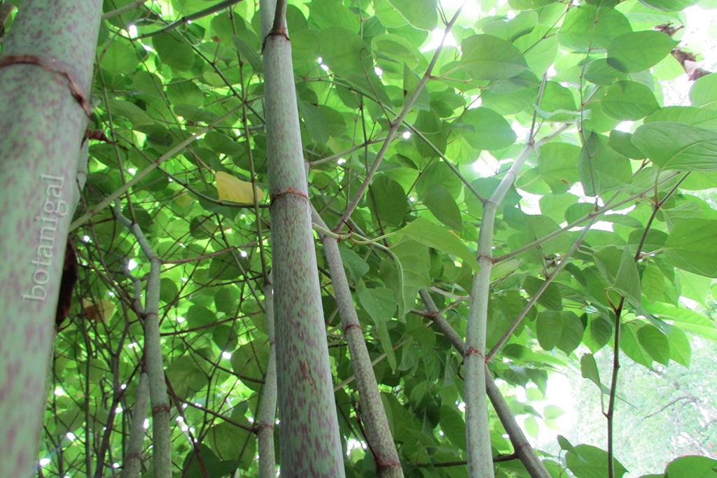 R.K. Japanese knotweed underside shot IMG_2517 wtm.jpg