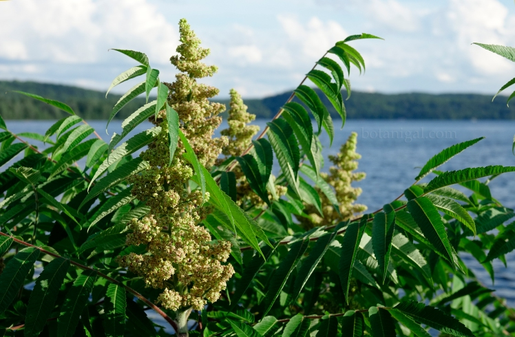 R.K. Sumac Dwight Bay July 11 2017_RXB3801 wtm.jpg