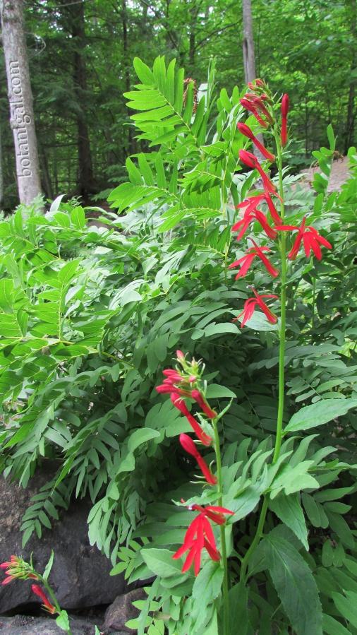R.K. 8 Oxtongue Rapids Cardinal Flower Royal Fern July 24 2016 006 wtm.jpg