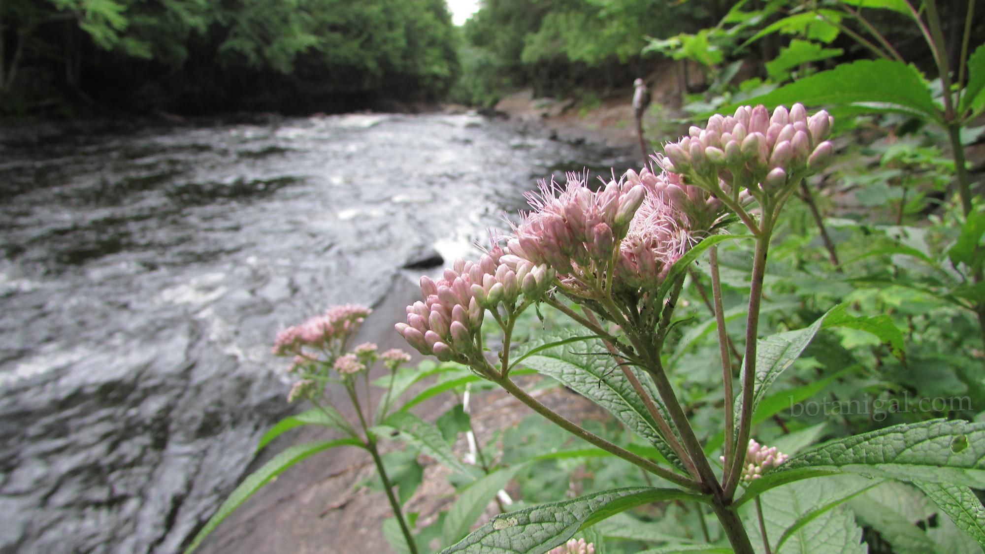 R.K. 9 Oxtongue Rapids Spotted Joe Pye Weed 051 wtm.jpg