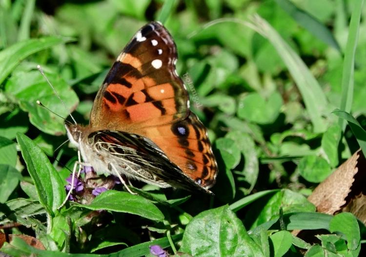 R.K. 16 Hunter's Bay Lady Butterfly wink CROPPED October 18 2017 wtm_RXB9051.jpg