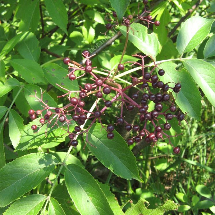 Canadian Elderberry (Sambucus Canadensis)