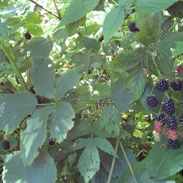 Blackberry (Rubus allegeniensis)