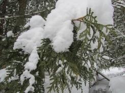 Eastern White Cedar (Thuja occidentalis)