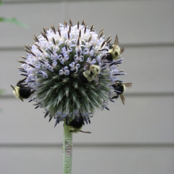 Heirloom Globe Thistle (Echinops ritro)