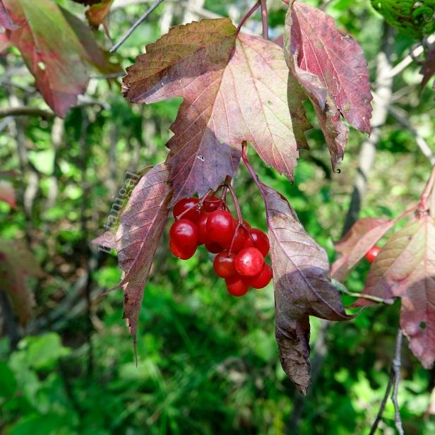 Highbush Cranberry (Viburnum triloba)