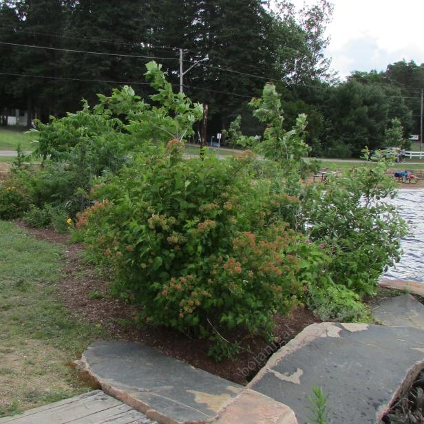 Ninebark (Physocarpus alba)