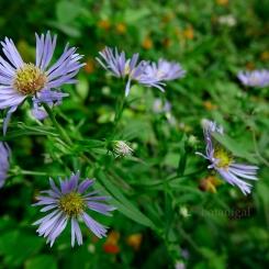 Purple-stemmed Aster (Aster)