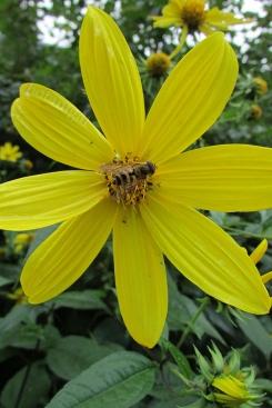 Rough Woodland Sunflower (Helianthus)