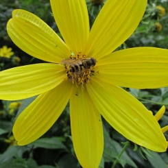 Rough Woodland Sunflower (Helianthus)