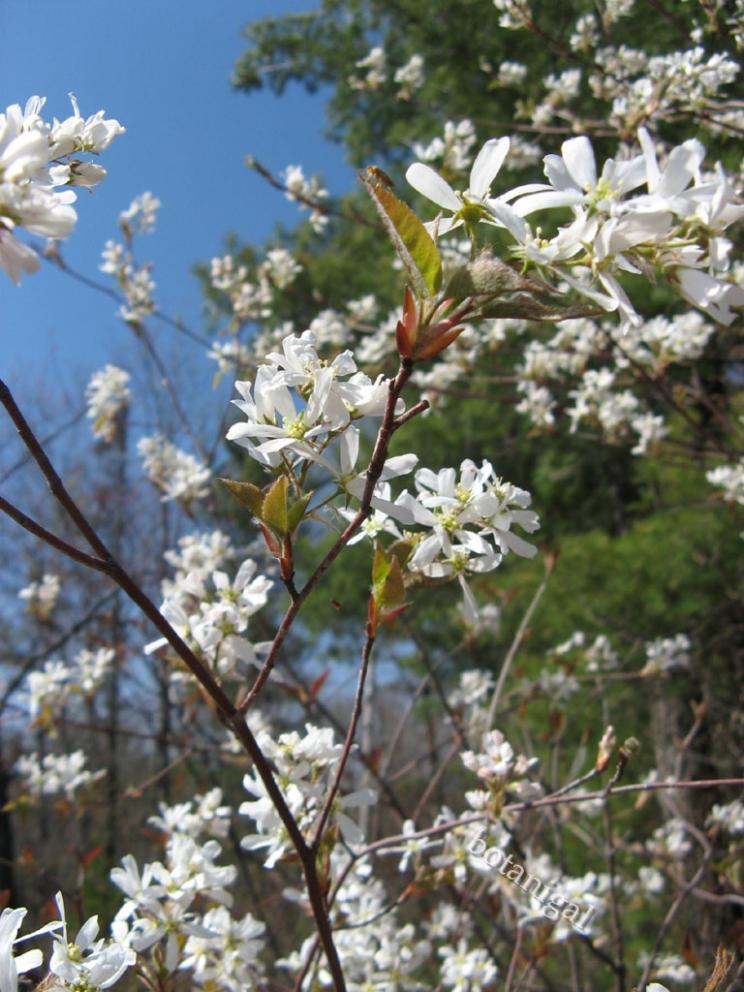 Canada Serviceberry (Amelanchier Canadensis)