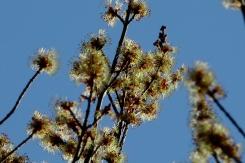 Sugar Maple (Acer sacharrinum)