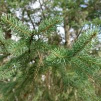 White Spruce (Picea glauca)