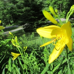 Heirloom Yellow Daylily (Hemerocallis flava)