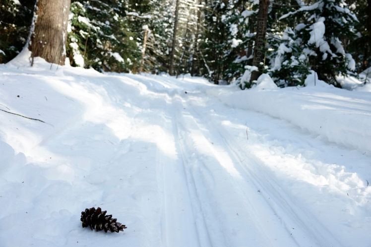 13. R.K. White Pine cone single track BMRC Feb 13 2018 wtm_RXB1579.jpg