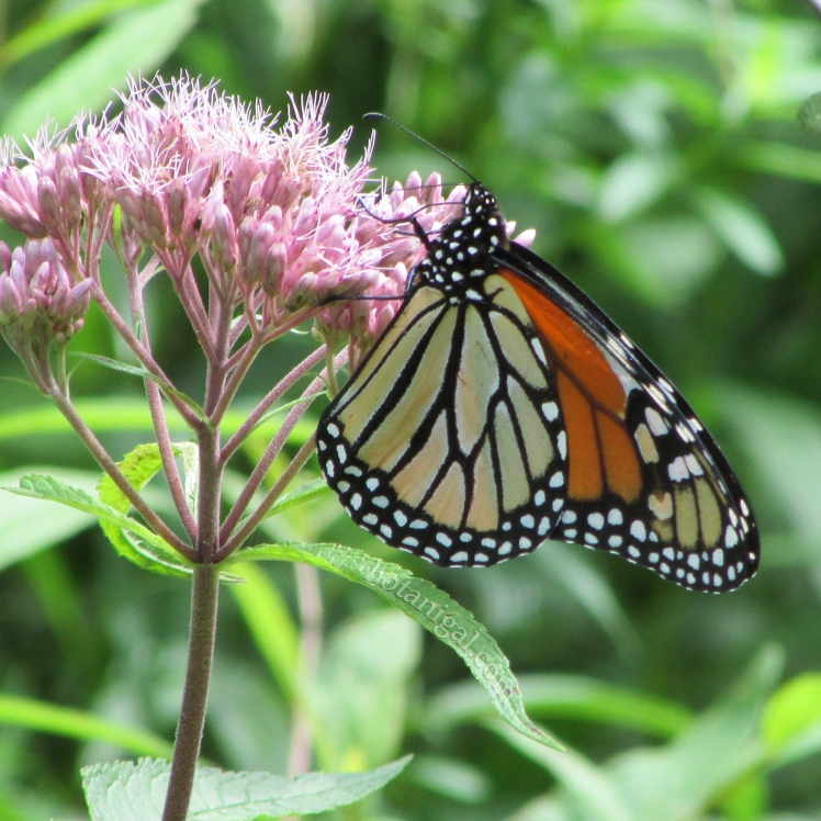 R.K. Joe Pye weed with Monarch wtm IMG_3060.jpg