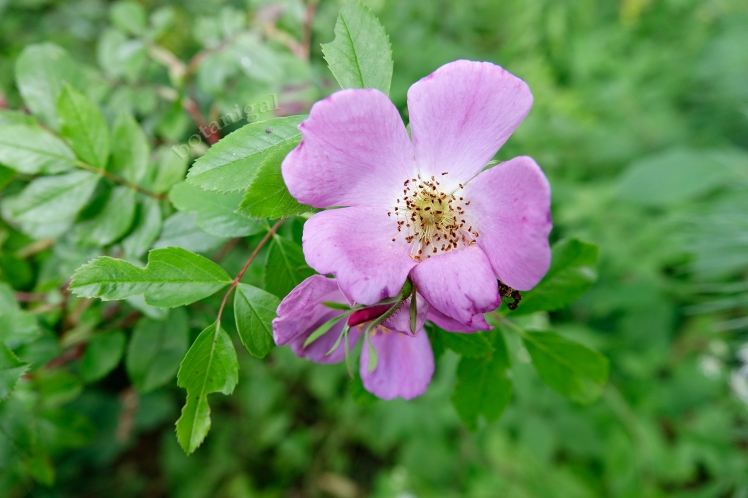 R.K. Meadow Rose BHLR September 5 2017_RXB6337.jpg wtm.jpg