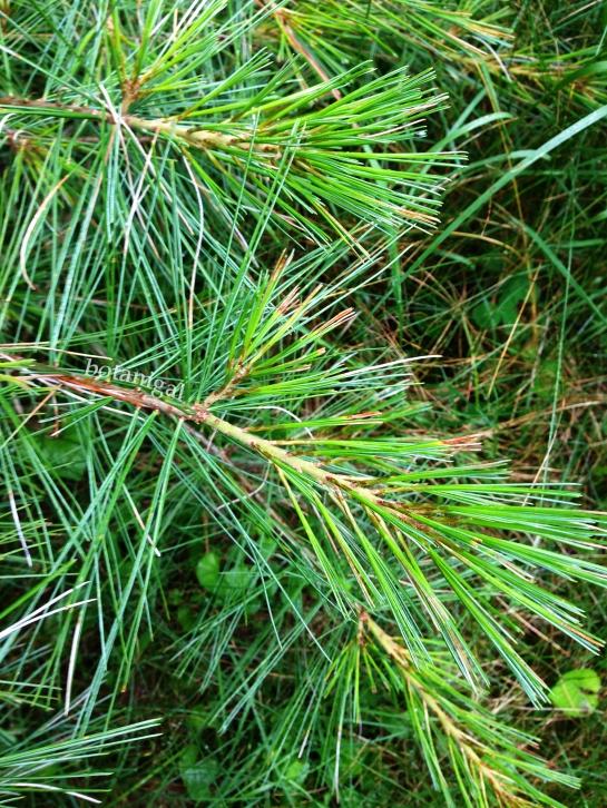 R.K. White Pine July 14 2017 042 iphone wtm.jpg